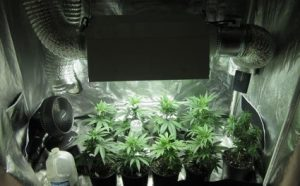 Cultivo Indoor de Cannabis